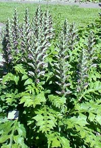 The acanthus plant