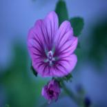 Organic Blue Malva Herb