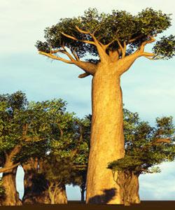 Is Baobab Oil the New Argan Oil?