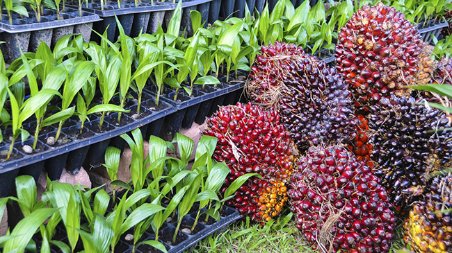 Which Is Best For Your Hair Red Palm Oil Or Palm Kernel Oil