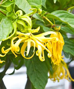 DIY Lemongrass and Ylang Ylang Shine Serum