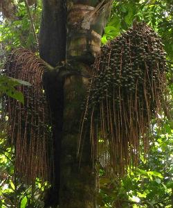 Ungurahua Oil: Central America's Best Kept Hair Secret