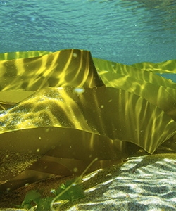 The Benefits of Sea Kelp for Hair