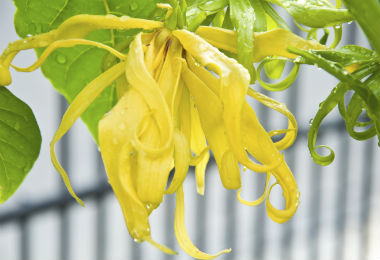 How to Use Ylang Ylang Essential Oil For Excessive Hair Fall & Oiliness