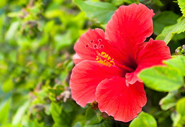 Can this flower prevent hair loss and stimulate natural hair growth?